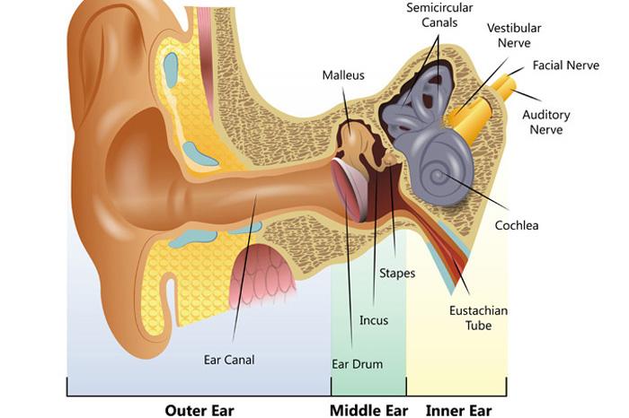 Kampala audiology and speech centre better hearing better speech how the ear works ccuart Gallery